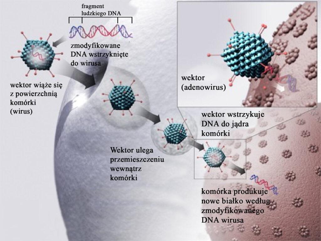 Schemat terapii genowej